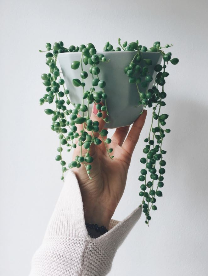 Source: thegeometricplanter.com // Are you looking to add more plant life to your space?  Not sure where to start?  Check out today's Plant Love, String of Pearls Edition!  #tulipandsage #stringofpearlsplant #stringofpearlsplantcare #howtocareforstringofpearlsplant